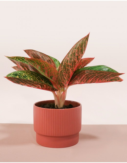 Aglaonema rose
