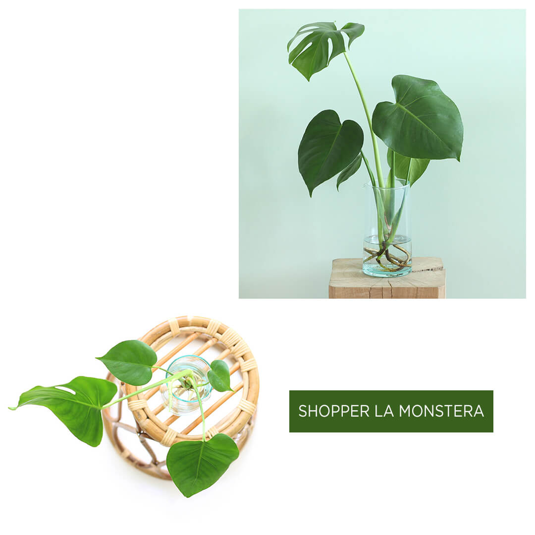 Shopper le Monstera